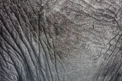 Close-up da pele do elefante Fotografia de Stock