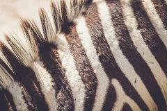 Close up da pele da zebra no ajuste do vintage foto de stock royalty free