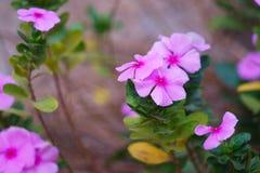 Close up da pervinca rosado com fundo borrado imagens de stock