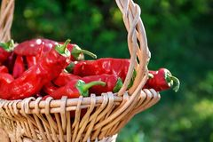 Close up da pimenta vermelha na cesta da cesta fora em um dia ensolarado fotos de stock royalty free