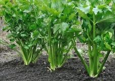 Close-up da plantação do aipo Imagens de Stock Royalty Free