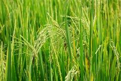 Close up da planta da almofada de arroz Imagens de Stock
