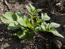 Close up da planta de batata orgânica imagem de stock