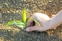 Close-up da planta de milho pequena do cultivo orgânico com mão do fazendeiro Fotos de Stock Royalty Free