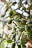 Close up da planta do Crassula ou do jade Foto de Stock Royalty Free