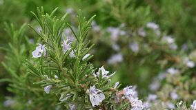 Close-up da planta dos alecrins video estoque
