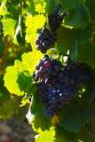 Close-up da planta dos vinhedos Fotos de Stock
