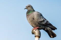 Close up da pomba ou do pombo da rocha Foto de Stock Royalty Free