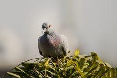 Close up da pomba ou do pombo da rocha Imagens de Stock