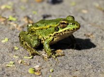 Close up da rã do pântano Imagens de Stock Royalty Free