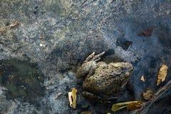 Close-up da rã na exploração agrícola da natureza, Tailândia Fotos de Stock Royalty Free
