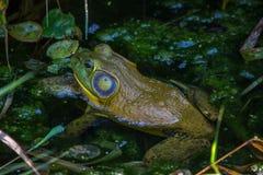 Close up da rã que senta-se em uma lagoa verde foto de stock royalty free