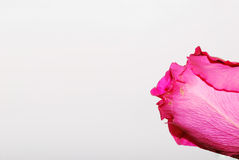 Close up da rosa do rosa no branco Imagem de Stock