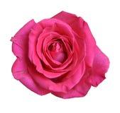 Close-up da rosa do vermelho isolado no fundo branco Imagens de Stock Royalty Free