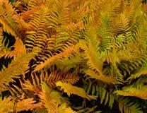 Close up da samambaia de avestruz em cores do outono fotografia de stock