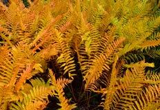 Close up da samambaia de avestruz em cores do outono foto de stock