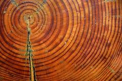 Close up da seção do tronco de árvore Fotografia de Stock Royalty Free