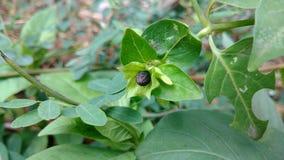 Close up da semente do pulso de disparo do ` de quatro O, maravilha de peru, Mirabilis Jalapa foto de stock