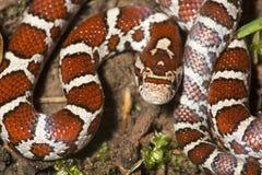 Close up da serpente de leite nova no solo do jardim em Connecticut fotos de stock