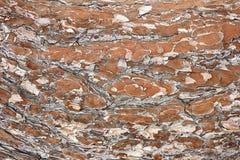 close up da textura da casca do pinho Fotos de Stock Royalty Free