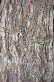 close up da textura da casca do pinho Foto de Stock