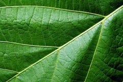 Close up da textura da estrutura da folha Imagem de Stock