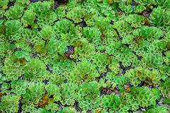 Close-up da textura dos natans do Salvinia fotos de stock royalty free