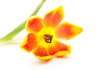 Close up da tulipa aberta do amarelo vermelho aberto foto de stock