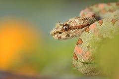 Close-up da víbora da pestana Imagens de Stock