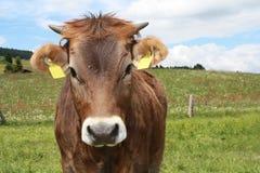 Close-up da vaca de Brown Foto de Stock Royalty Free