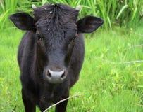 Close-up da vaca na exploração agrícola Fotos de Stock