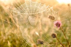 Close up da Web do ` s da aranha com gotas do orvalho no alvorecer Grama molhada antes do aumento do sol Web de aranha com gotas  fotos de stock