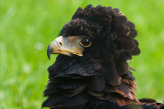 Close-up da águia de Bateleur Foto de Stock Royalty Free