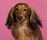 Close-up of Dachshund Stock Image