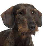 Close-up of Dachshund, 2 years old Stock Photos