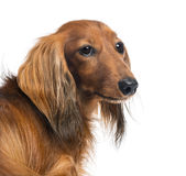 Close-up of a Dachshund, 4 years old Royalty Free Stock Images
