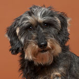 Close-up of Dachshund, 8 years old Royalty Free Stock Photography