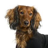Close-up of a Dachshund dressed Stock Image
