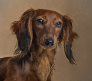 Close up of a Dachshund Royalty Free Stock Photography
