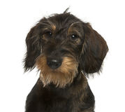 Close-up of a Dachshund Stock Photography