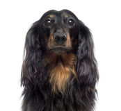 Close-up of a Dachshund, isolated Stock Photos
