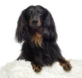 Close-up of a Dachshund, isolated Stock Photography
