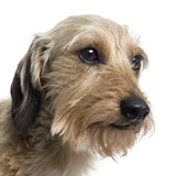 Close up of a Dachshund, isolated Royalty Free Stock Image