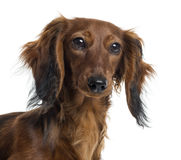 Close up of a Dachshund, isolated Stock Photo