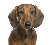 Close-up of Dachshund, 6 months old, isolated on white Royalty Free Stock Photo