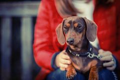 Close Up Of Dachshund With Owner Sitting On Bench