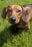 Close up of dachshund. Stock Image