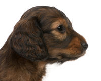 Close-up of Dachshund puppy, 5 weeks old Royalty Free Stock Photos