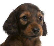 Close-up of Dachshund puppy, 5 weeks old Stock Photos