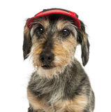 Close-up of a Dachshund wearing a cap, 15 years old Royalty Free Stock Image
